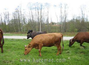 Коровы Куремяэ Пюхтица